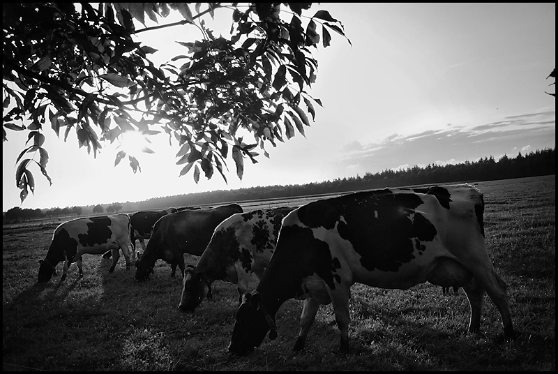 Cows mowing and chewing by Wouter Brandsma