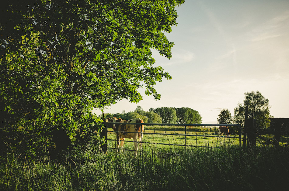 cow, light, shadow, fence, green, color, colour,  photography, photograph, agriculture, rural, sky, trees, light and shadows, ricoh gr, gr ricoh, gr, ricoh, pentax, pentax ricoh, pentax gr, ricoh gr digital, ricoh grd, gr digital, wouter brandsma, landscape, landscape photography, stroll photography