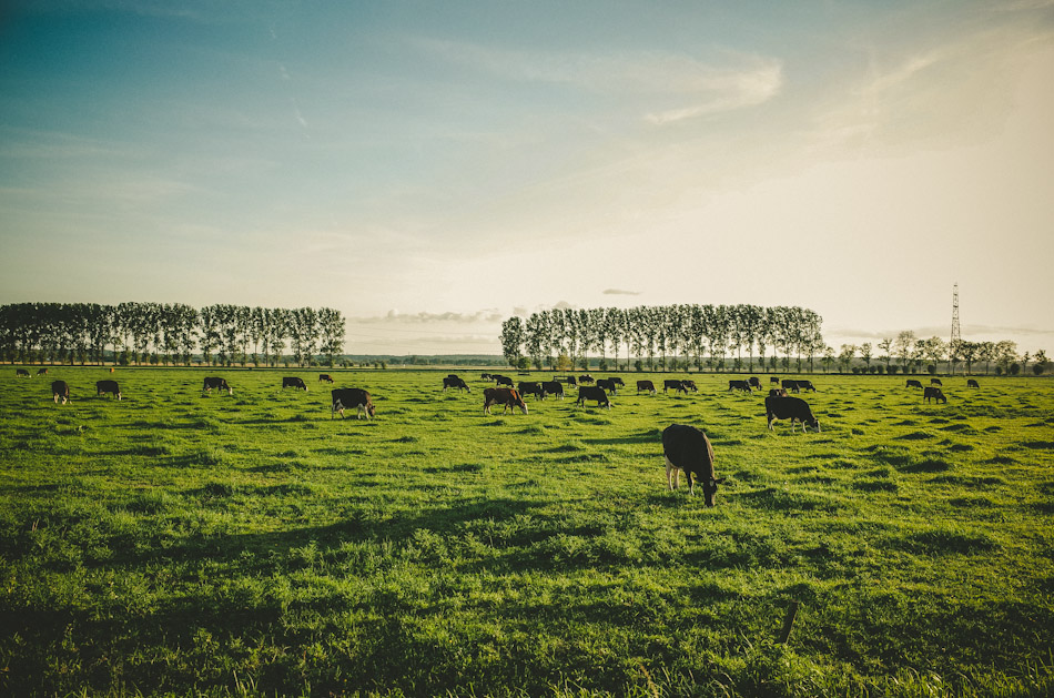 cows, light, shadow, green, color, colour,  photography, photograph, agriculture, rural, sky, trees, light and shadows, ricoh gr, gr ricoh, gr, ricoh, pentax, pentax ricoh, pentax gr, ricoh gr digital, ricoh grd, gr digital, wouter brandsma, landscape, landscape photography, stroll photography, meadow, dutch light